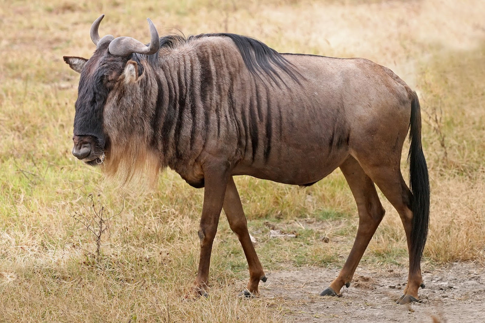 Mammals Animals: Blue Wildebeest, Ngorongoro