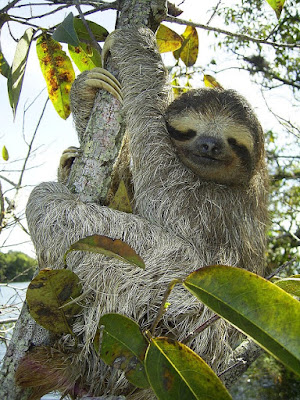 Tiga-toed Sloth