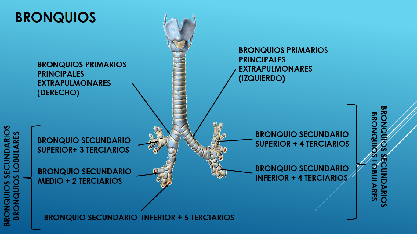 Lujoso Bronquios Primarios Ideas - Imágenes de Anatomía Humana ...