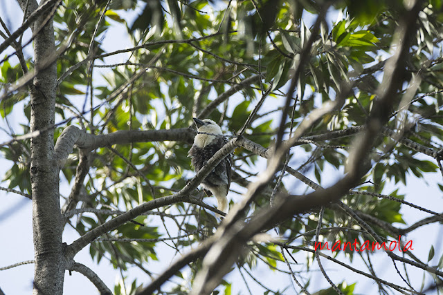 White-headed barbet (Lybius leucocephalus)