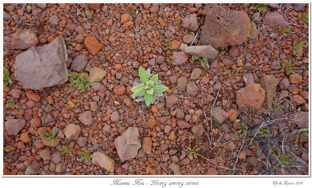 Mauna Kea: Living among stones