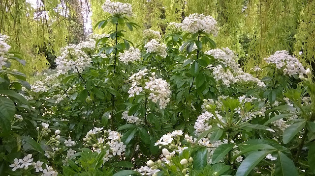 Choisya Ternata- life between the flowers great gardening blogs