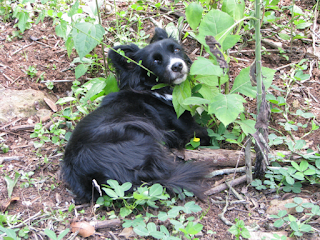 Costa Rica black dog