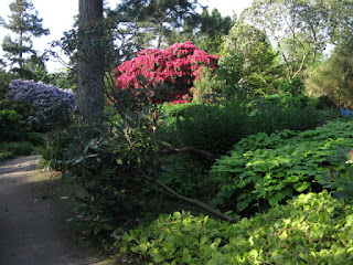 Shady grove with blooming rhododendrons, Royal Botanic Garden, Edinburgh, Scotland