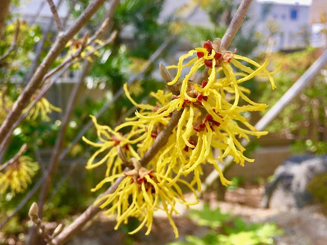 マンサクの花の写真