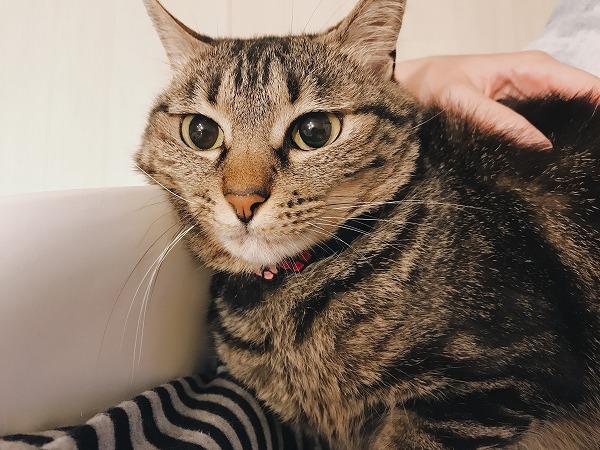 飼い主の膝の上でくつろぐキジトラ猫