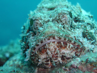 scorpion fish (family Scorpaenidae)