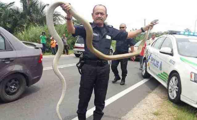 Hebat!.. Anggota Polis Tangkap Tedung Dengan Tangan Kosong