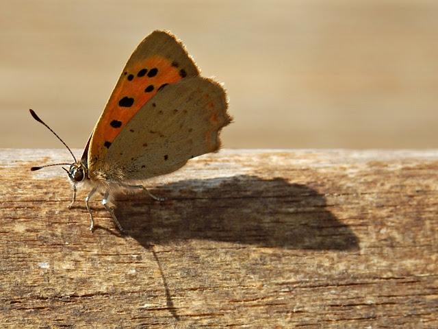 Butterflies, Cornwall