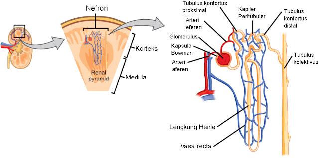 Anatomi nefron