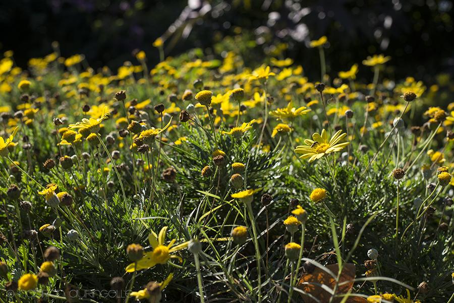 keltaisia kukkia puistossa
