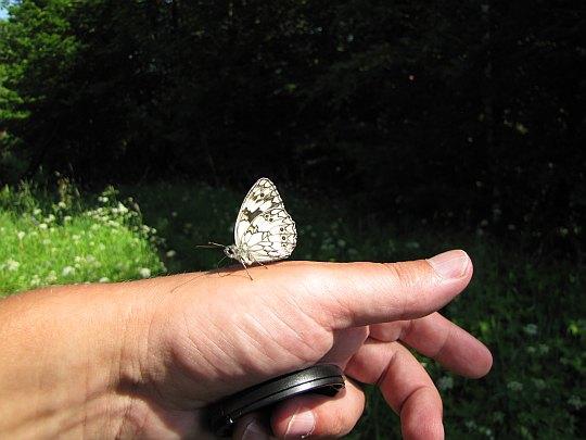 Polowiec szachownica (Melanargia galathea).