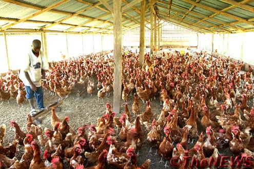 Mau Dapat Untung Dari Beternak? Kenali Dulu Cara Ternak Ayam Petelur
