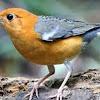 Cara Merawat Burung Anis Merah Yang Ingin Di Lombakan Di Usia Muda