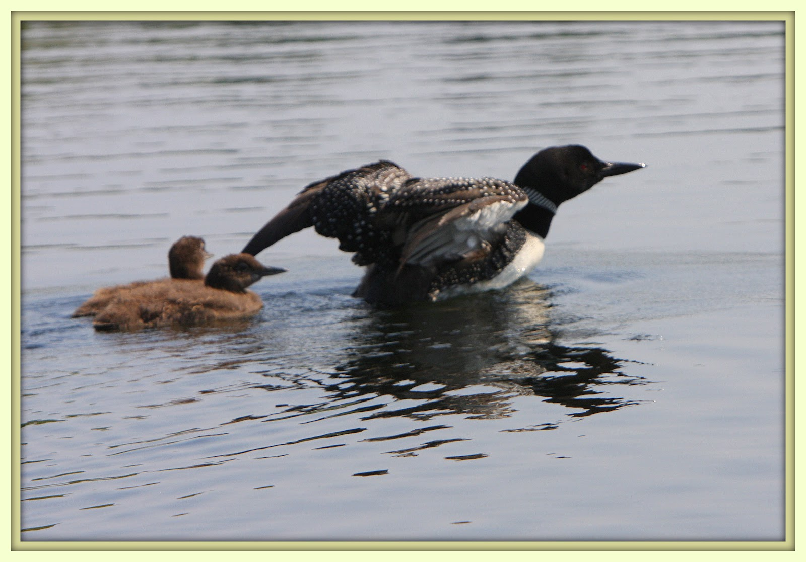 Walk With Father Nature: Loons Of Lilley Lake 2