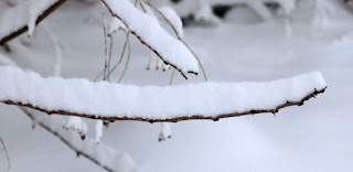 Snow lying deeply on narrow branches