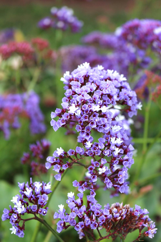 Purple flowers in Puno, Peru - travel blog