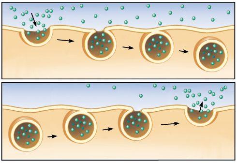 Perbedaan Endositosis dan Eksositosis pada Sel