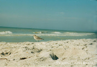 Sand Piper on Sanibel Island, Florida, November 2001