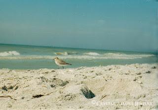 Sand Piper on Sanibel Island, Florida, November 2001