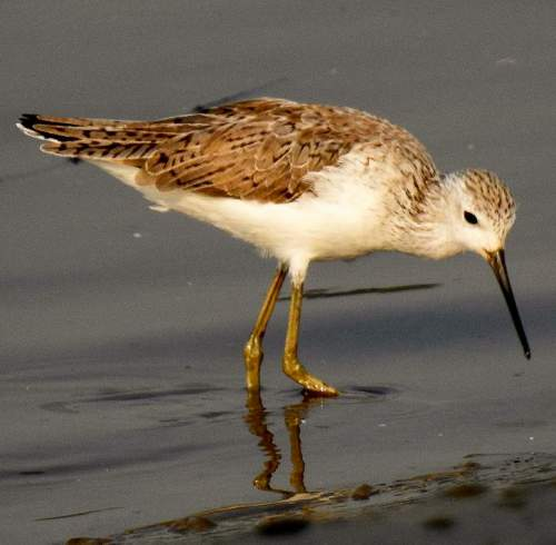 Birds of India - Photo of Marsh sandpiper - Tringa stagnatilis