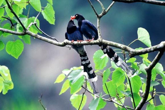 طيور نــادرة رائــــــعة Formosan-Magpie-2-58