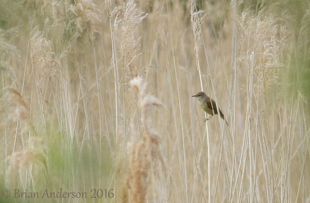 Great Reed Warbler at Paxton