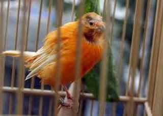 atau rontok serta tidak tumbuh bulu lagi Tips Cara Mengatasi Kebotakan Pada Burung Kenari