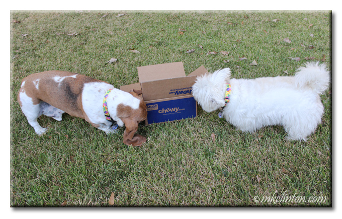 Bentley Basset and Pierre Westie are inspecting their new Chewy.com box