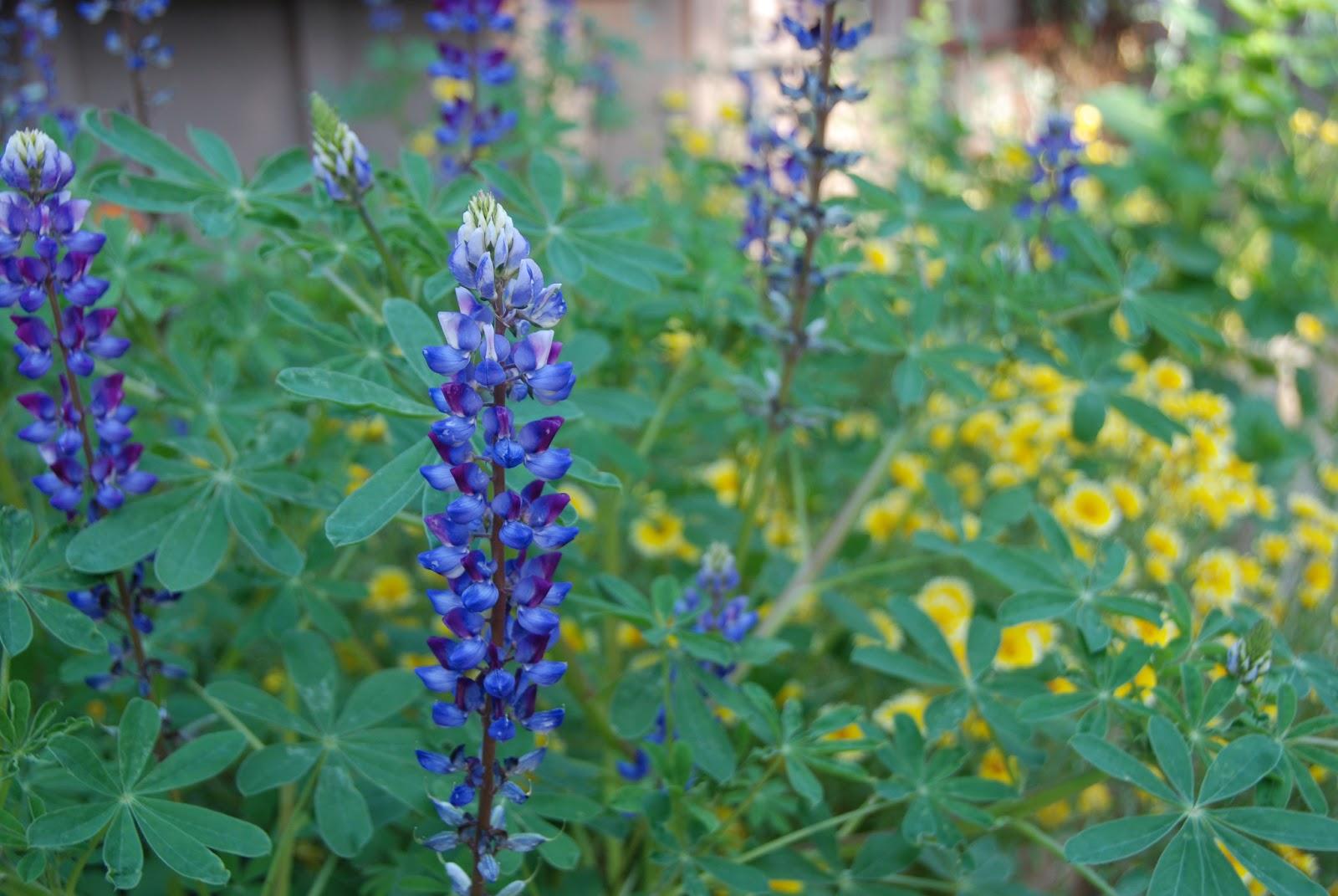 A California Native Plant Garden In San Diego County Annuals