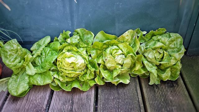Salat Ernte