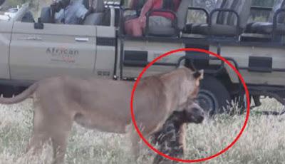 singa memakan anjing liar
