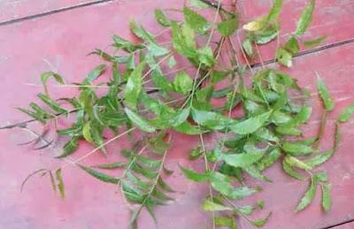neem-azadirachta-indica-health-benefits