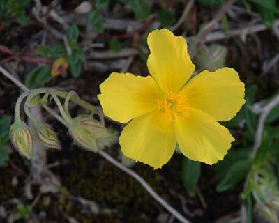 Flor amarilla de Helianthemum oelandicum o canum o montanum)