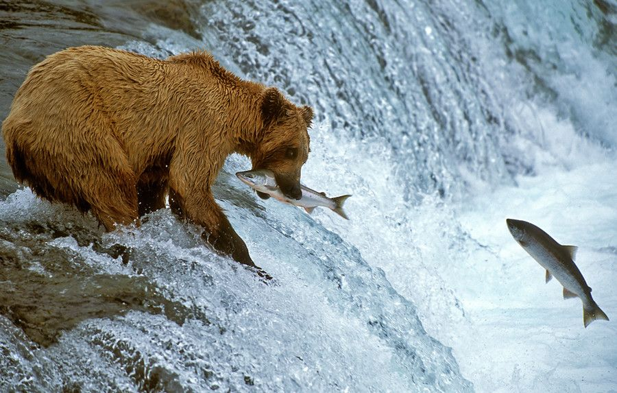Brown Bear with Salmon