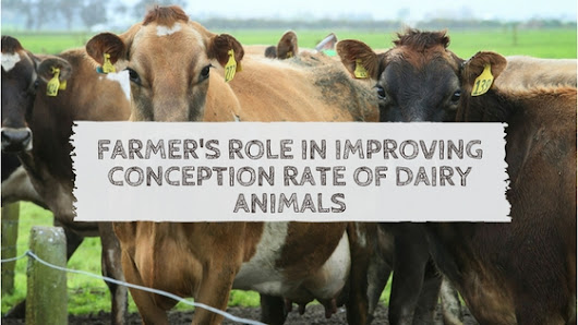 Farmer's Role in Improving Conception Rate of Dairy Animals