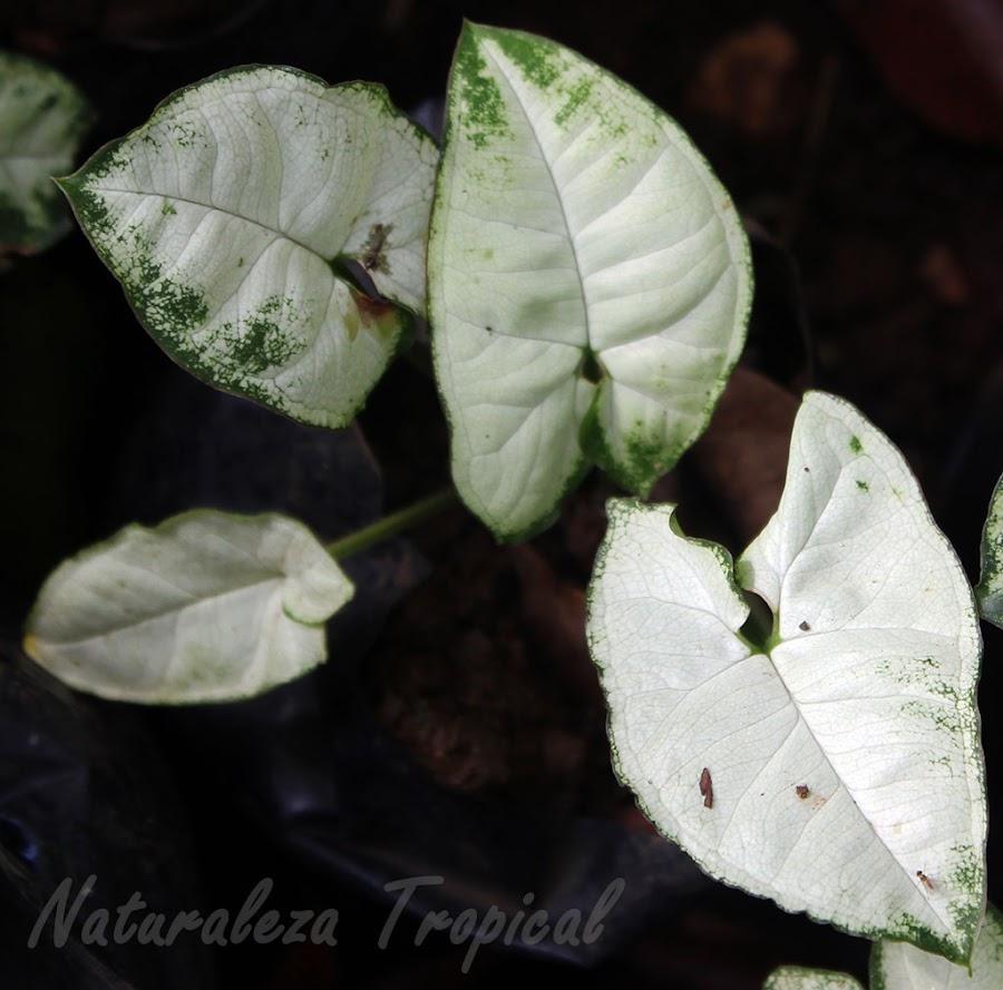 Variedad variegada muy apreciada en la jardinería de una planta del género Syngonium