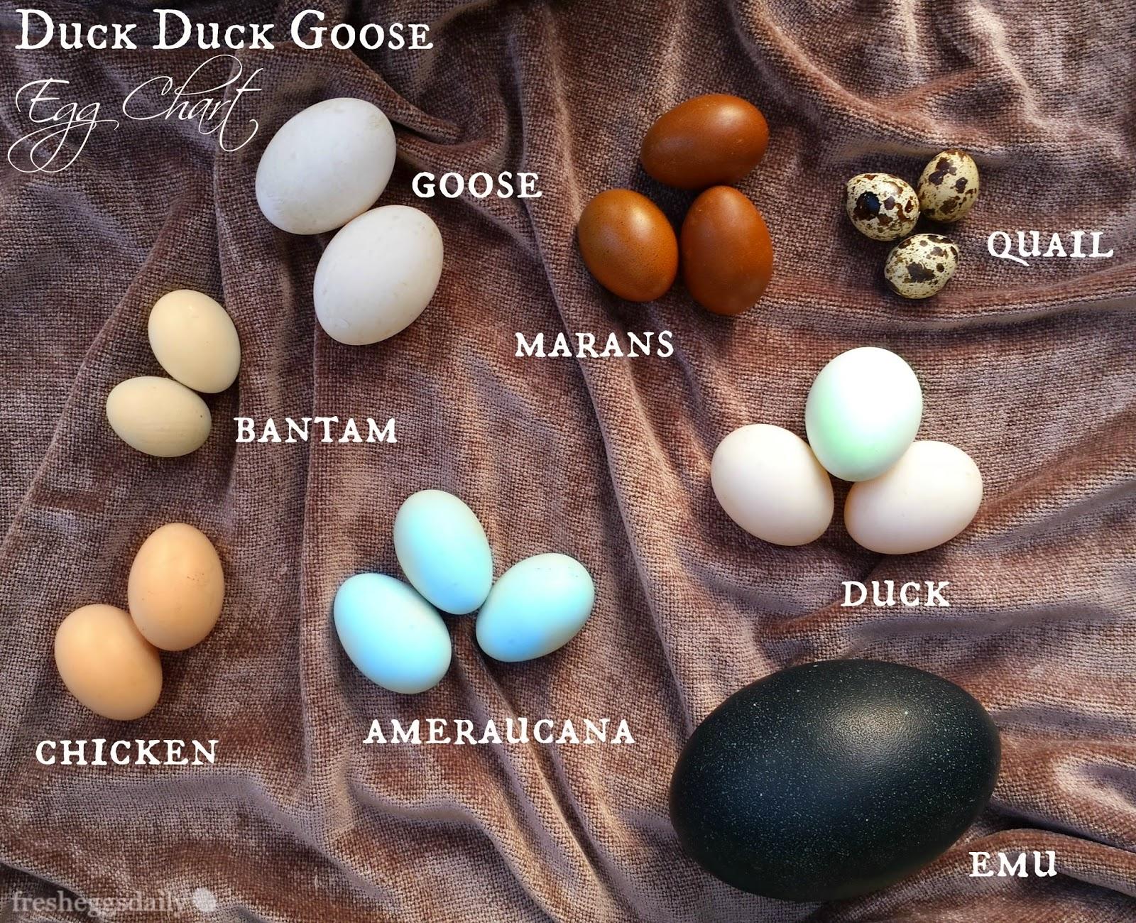 Duck Duck Goose Chicken Quail Emu Egg Identification