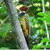 Pesquisadores registram no Tocantins pica-pau-do-parnaíba com penas brancas
