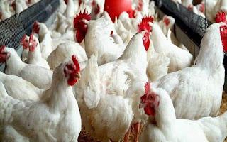 الزراعة: 143 ألف رأس ماشية و5 ملايين طائر مذبوحات بالمجازر خلال 30 يوما.