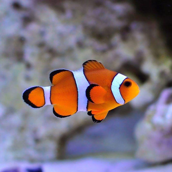 Ikan Nemo Ocellaris Clownfish