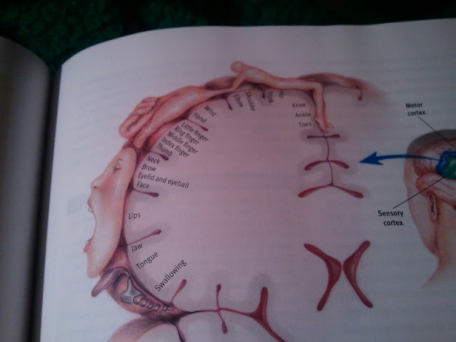 Photo of a bizarre textbook diagram depicting the profile of a brain melded with misshapen body parts, demonstrating the amounts of brain matter dedicated to controlling each body part.