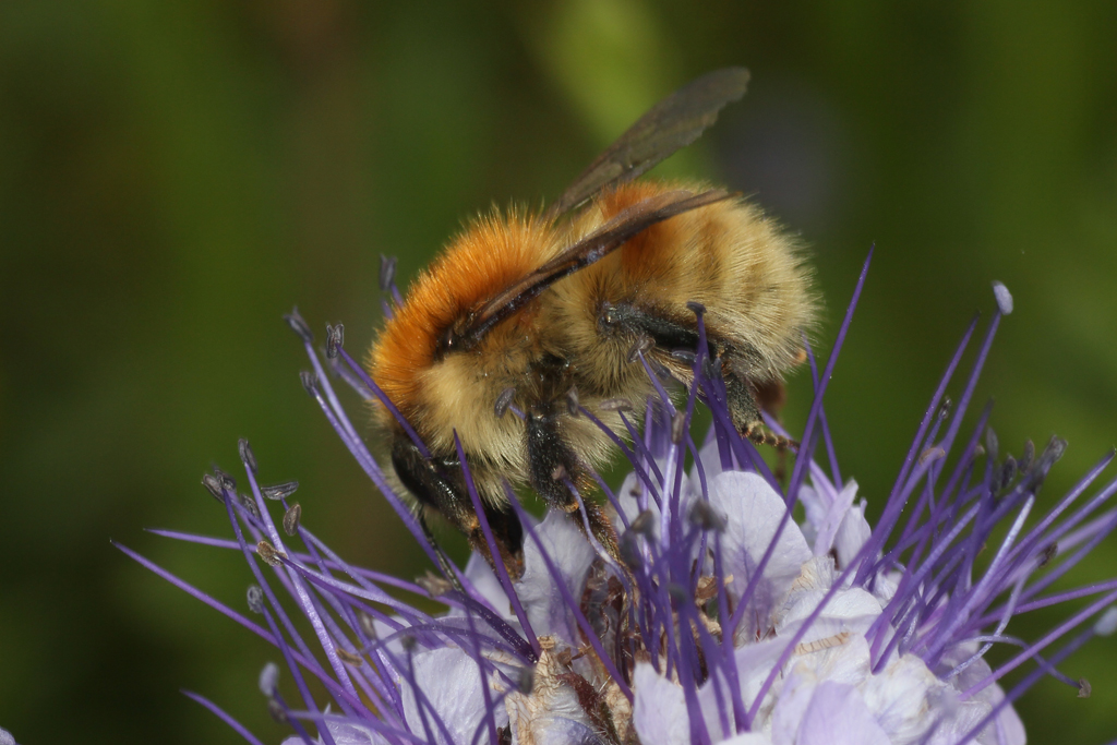 Gower Wildlife: Brown-banded Carder-Bees At Nitten