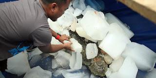 Gambar bangkai buaya terbesar dunia ditimbun dengan ais semasa menanti bedah siasat dijalankan.