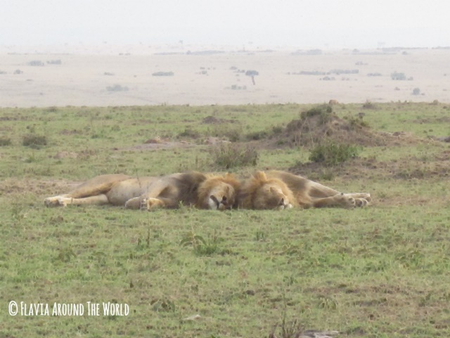 Leones con melena en Masai Mara