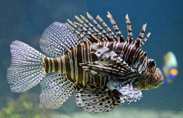 Dunia Ikan Hias - Lion Fish