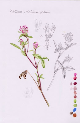 PollyO'Leary Clover Study -  © Polly O'Leary 2013 All Rights Reserved, polly0leary@aol.com
