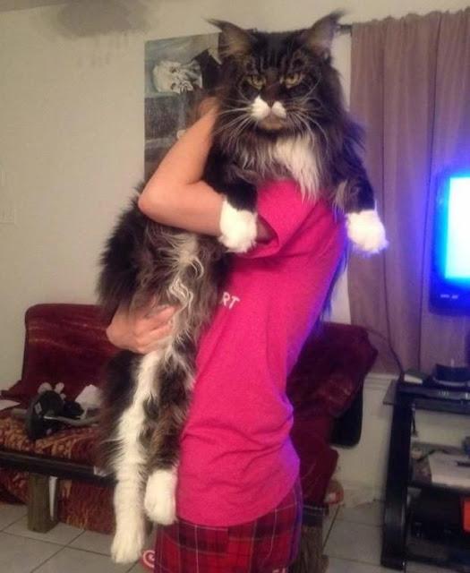 Chân dung 17 con mèo to xác khiến con người cũng phát hoảng