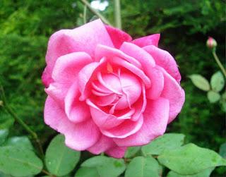 Gambar Bunga Mawar Yang Cantik Mempesona 2001610_Pink Roses