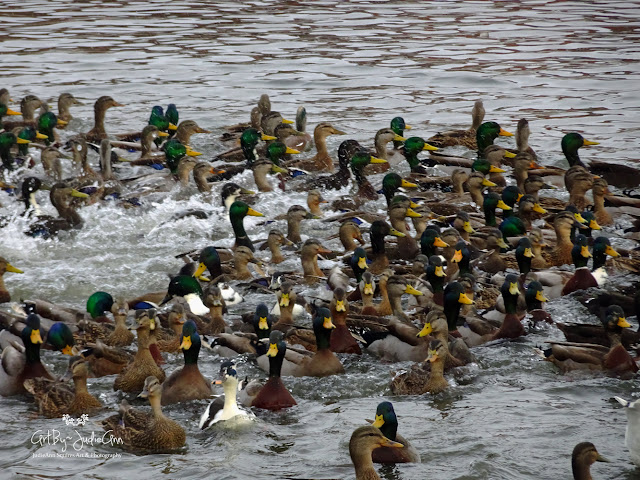 Group Of Mallard Ducks